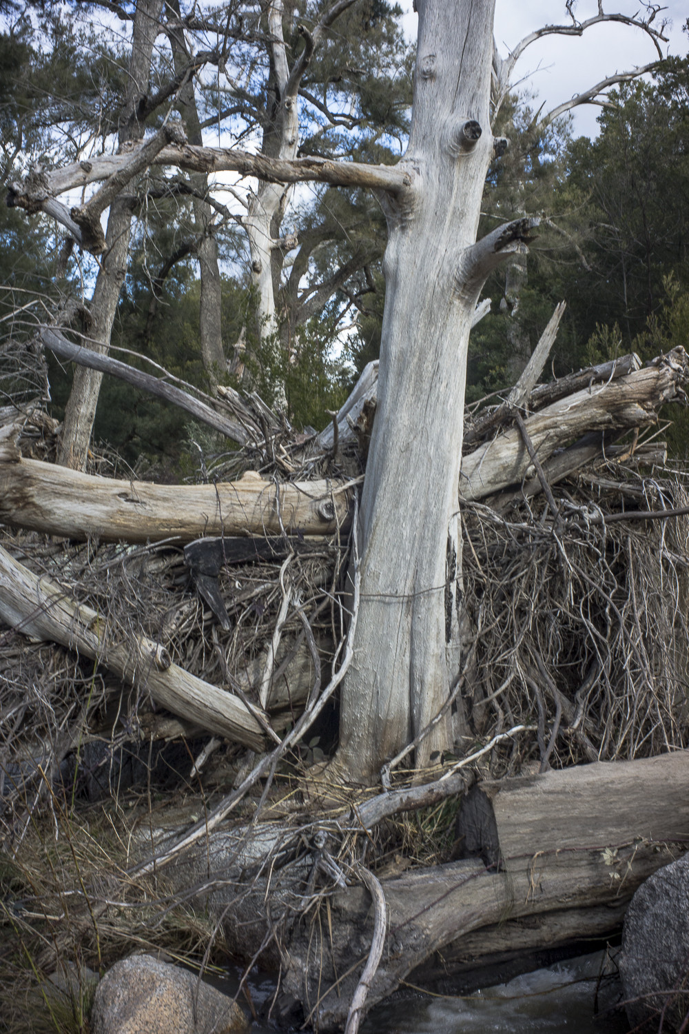 trees, Cotter River