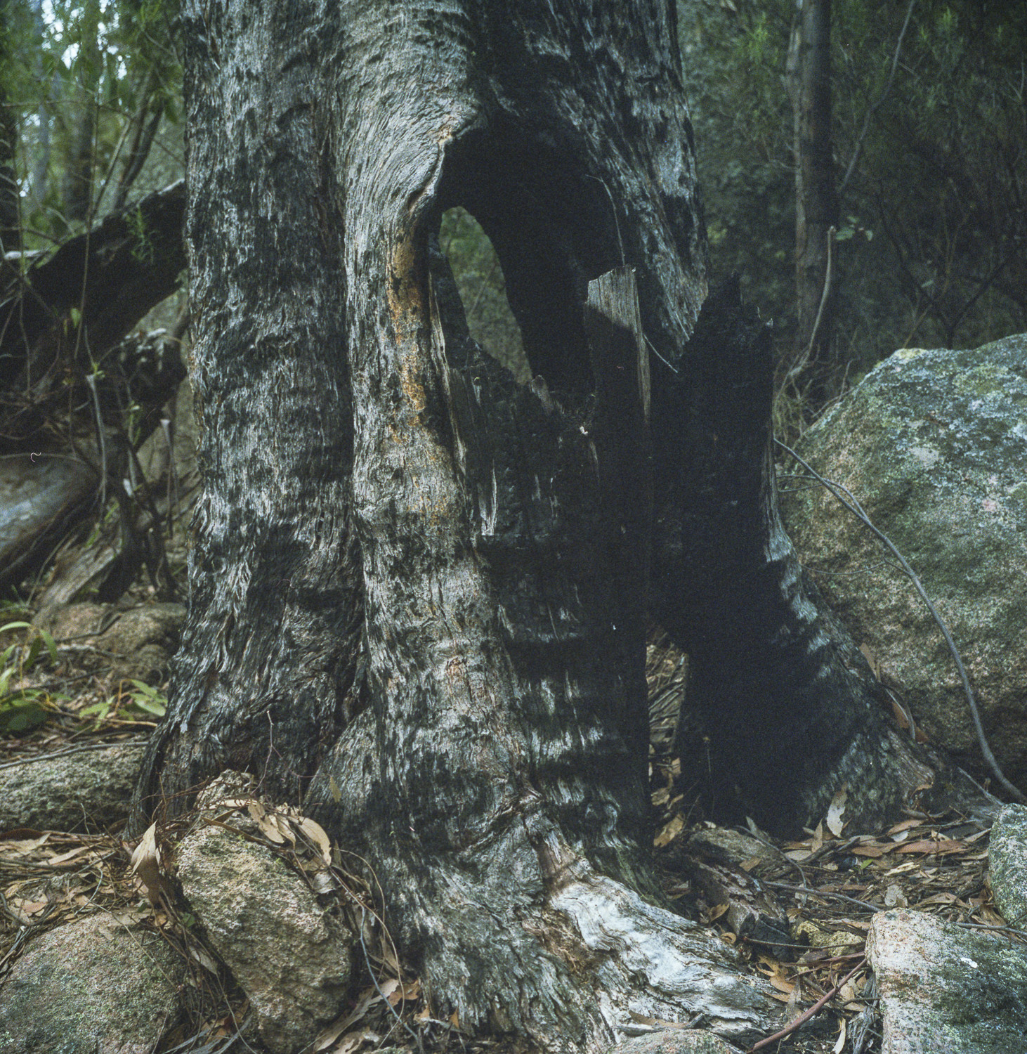 burnt tree, Namadgi National Park,